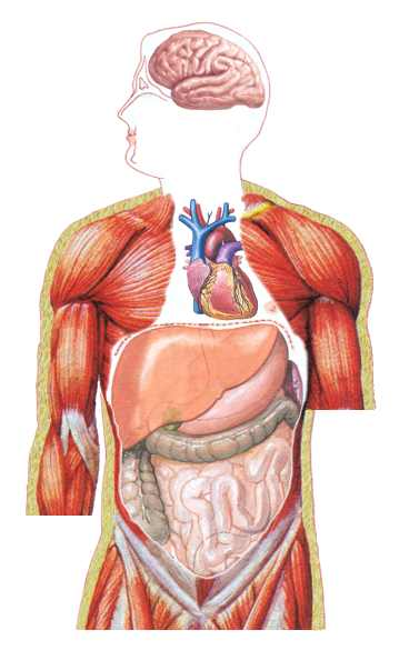inter organ relationships in