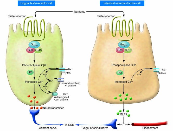 Enteroendocrine cells in oral cavity and gastrointestinal tract